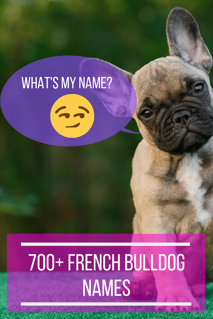 700 French Bulldog Names The Ultimate