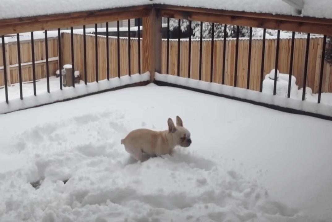 French Bulldog in Winter