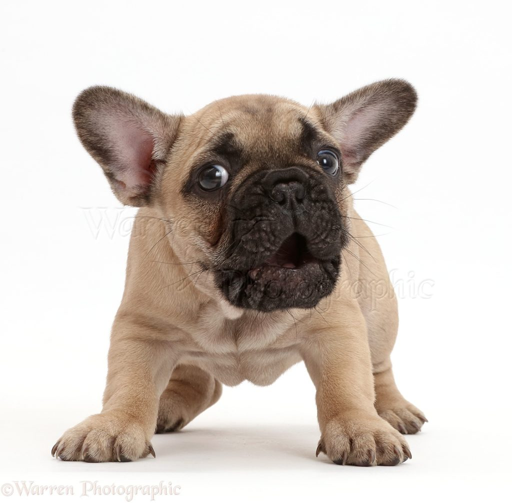 Stop French Bulldog puppy barking