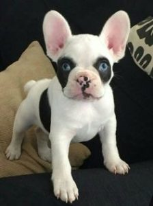 Pick a good French Bulldog breeder