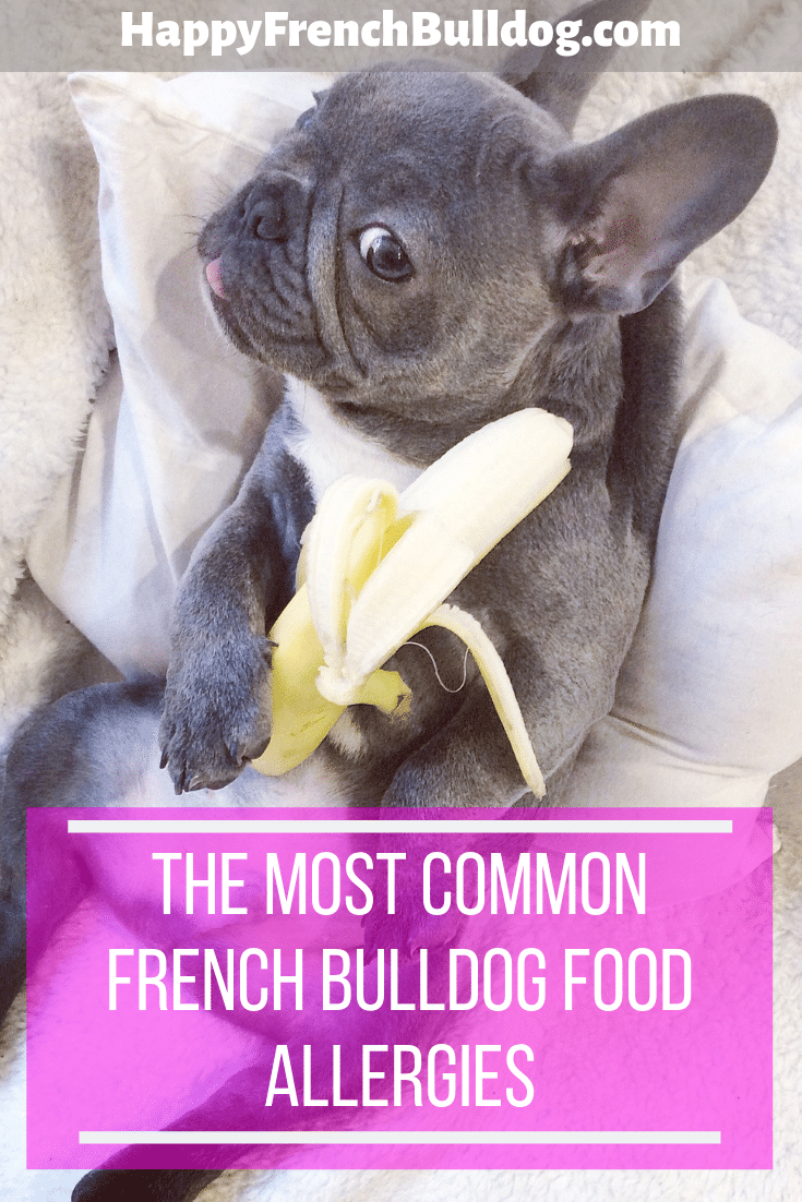 The Most Common French Bulldog food Allergies