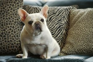 fat french bulldog
