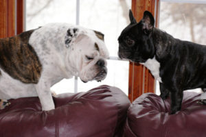 french bulldog and other dogs