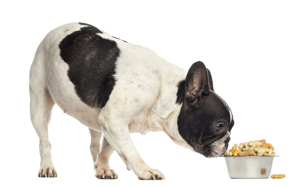 French Bulldog eating food