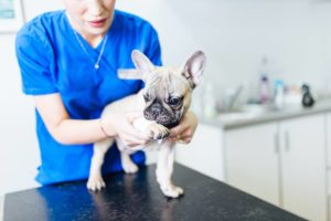 french bulldog vet