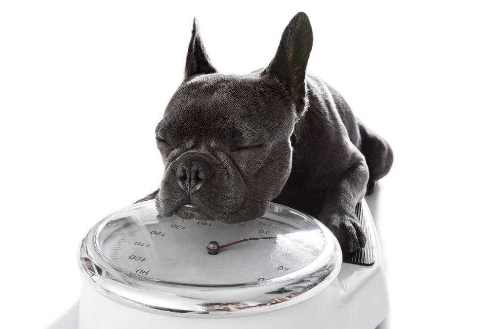 french bulldog weight