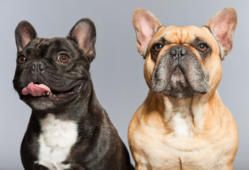 Black and brown french bulldogs