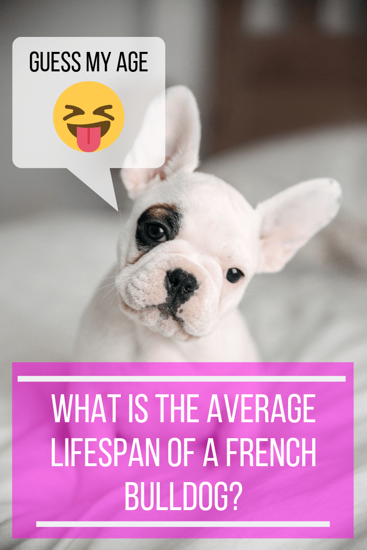 What is the average lifespan of a french bulldog