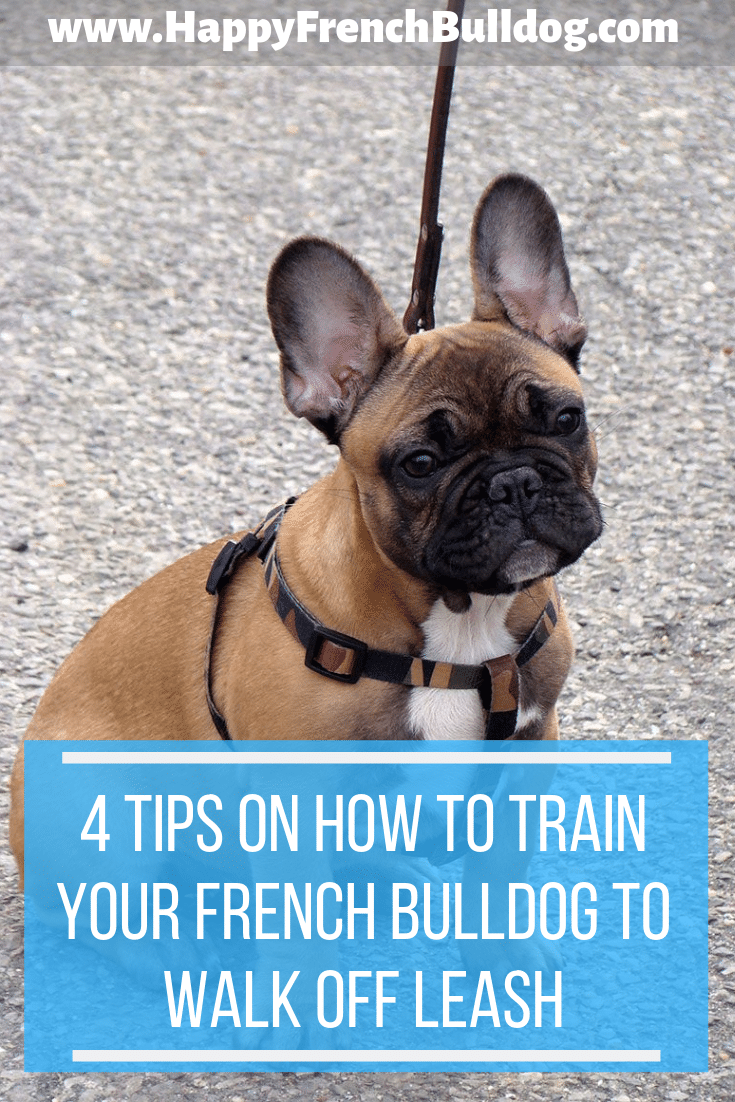 4 tips on how to train your French Bulldog to walk off leash