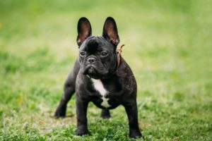 French Bulldog off leash training