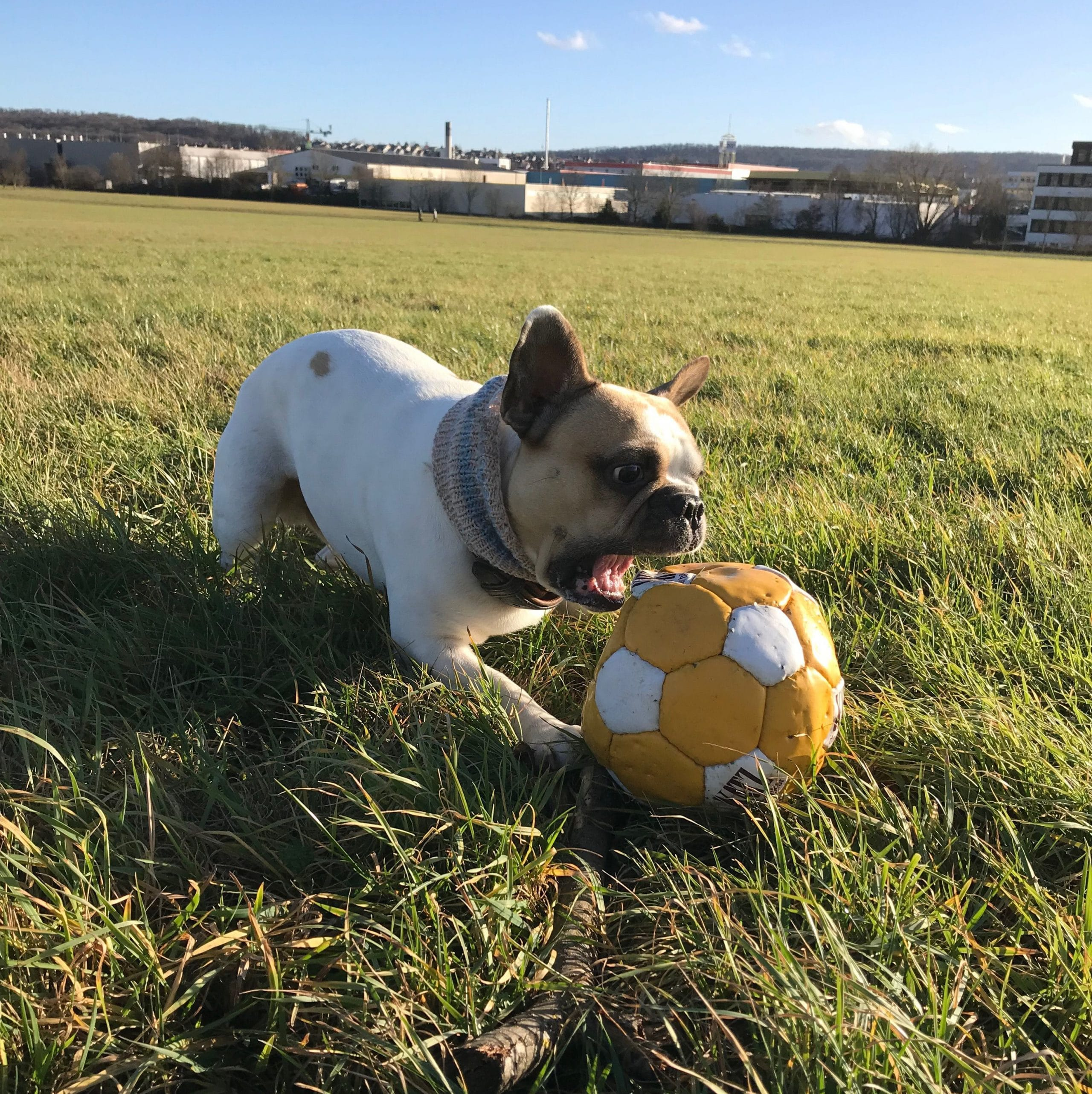 French bulldog playing