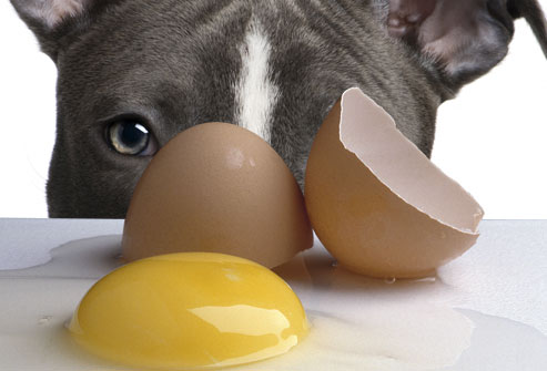 can a fench bulldog eat egg