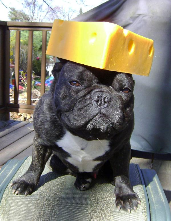 can a french bulldog eat cheese
