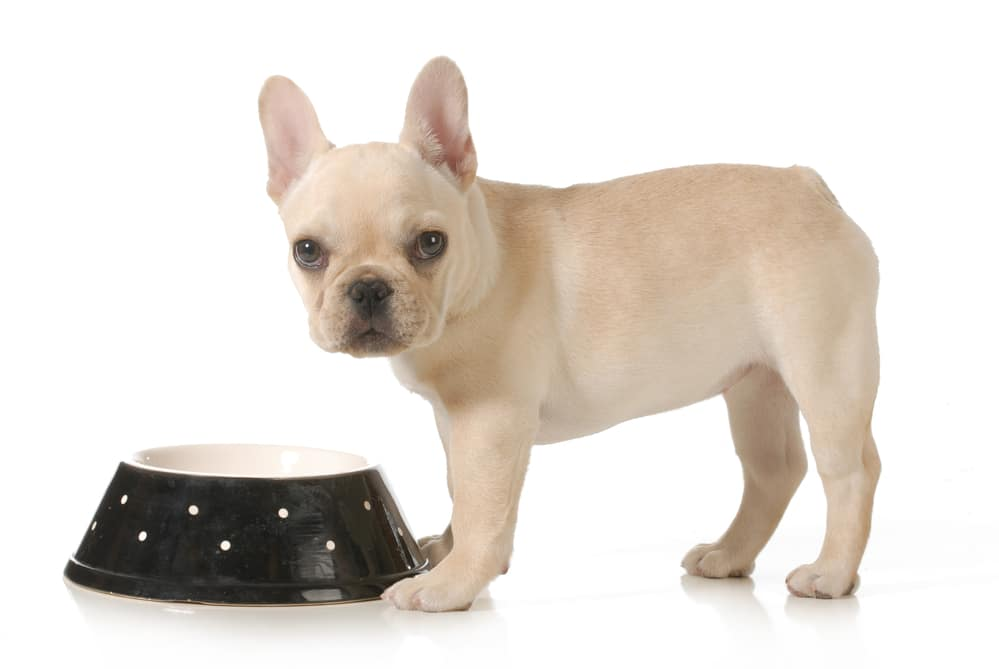 french bulldog eating