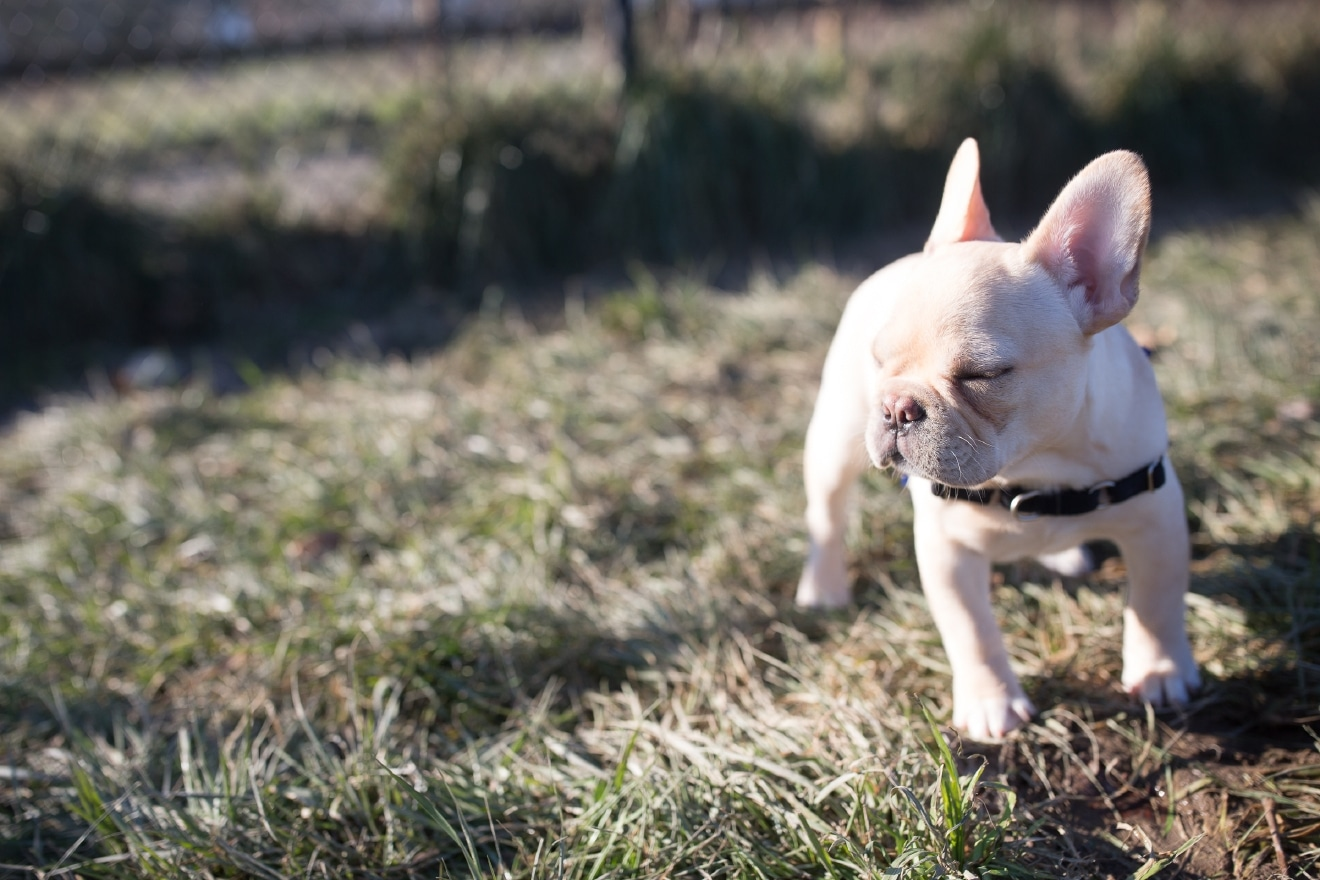 french bulldog off leash