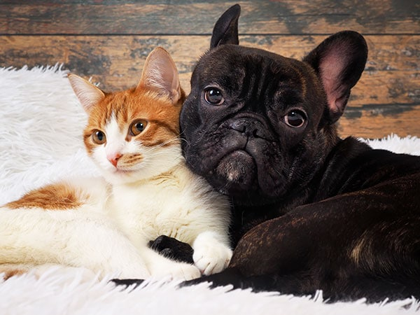 french bulldog and cats