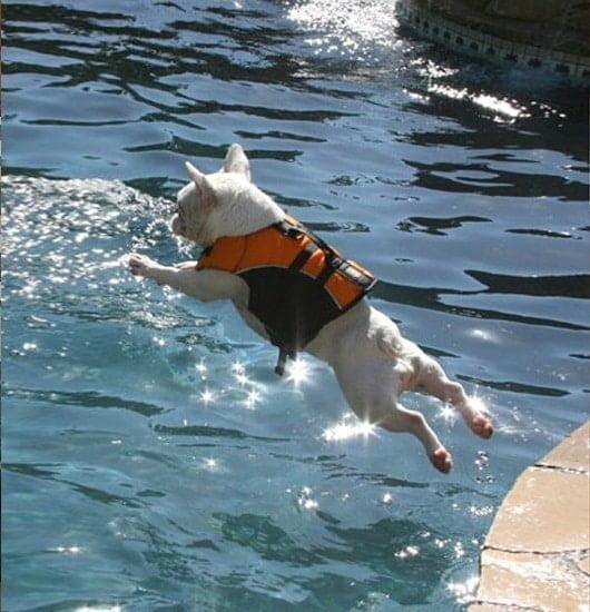 Can a French Bulldog swim?