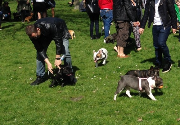 Can you take French bulldogs on long walks?