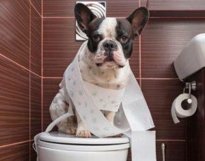 French-Bulldog-potty-training
