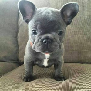 French bulldog puppy guide