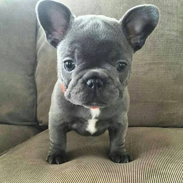 The Complete French Bulldog Puppy Guide