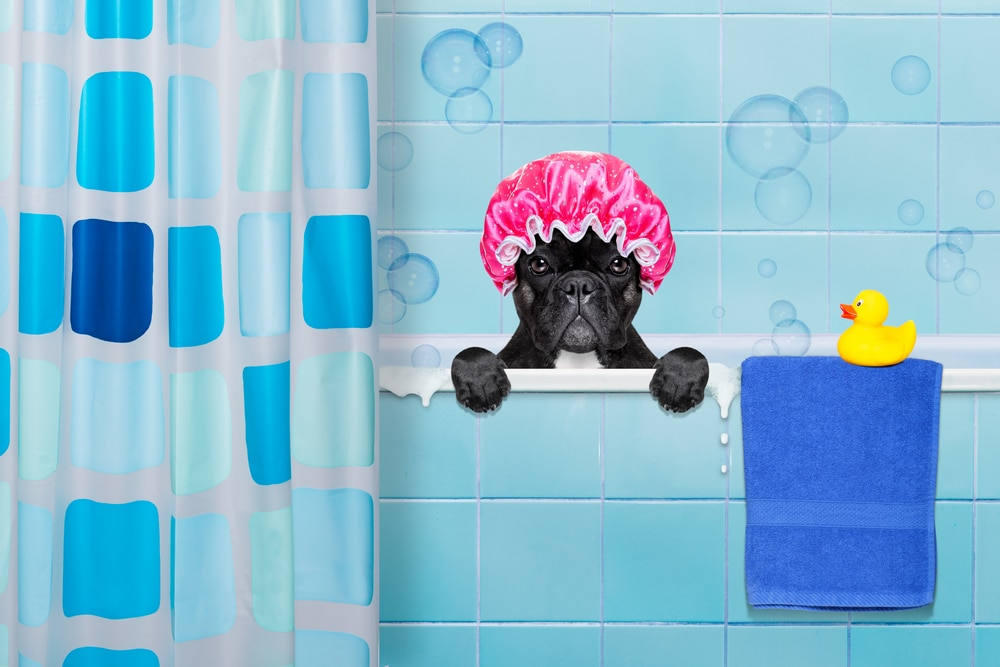 french bulldog bath