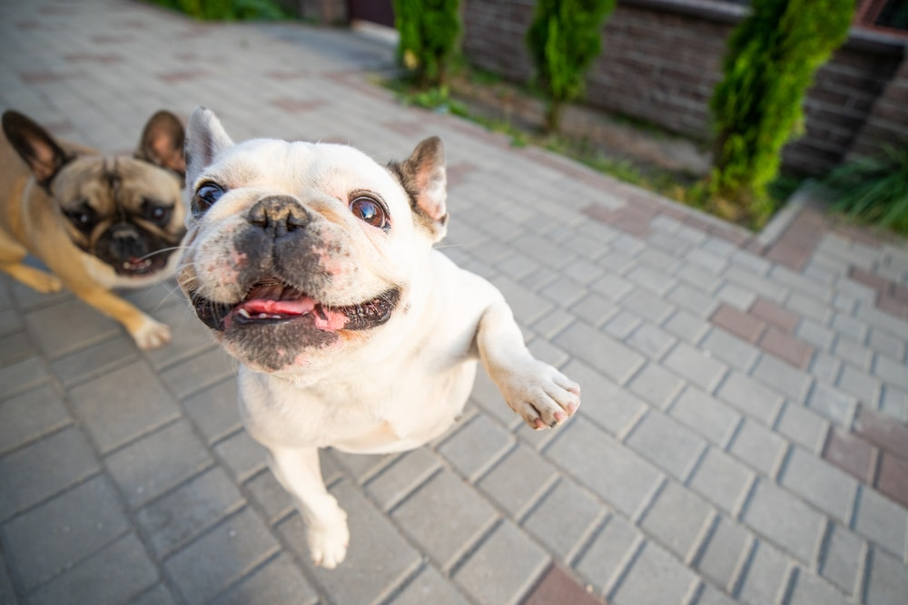 french bulldog jumping up on person