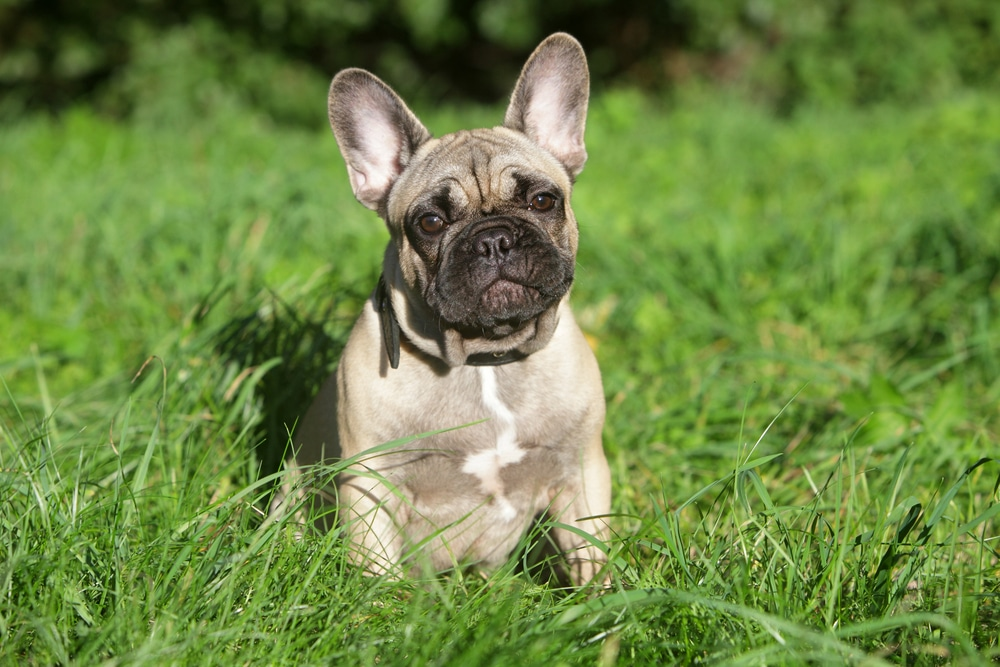 French Bulldog potty training