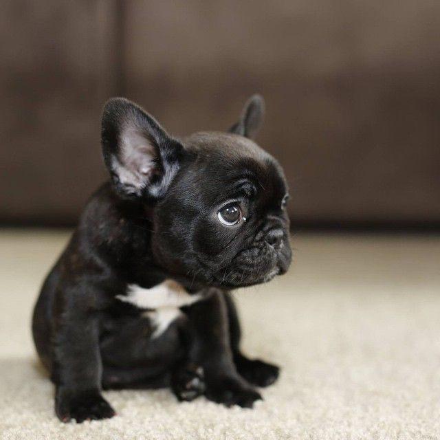 french bulldog separation anxiety
