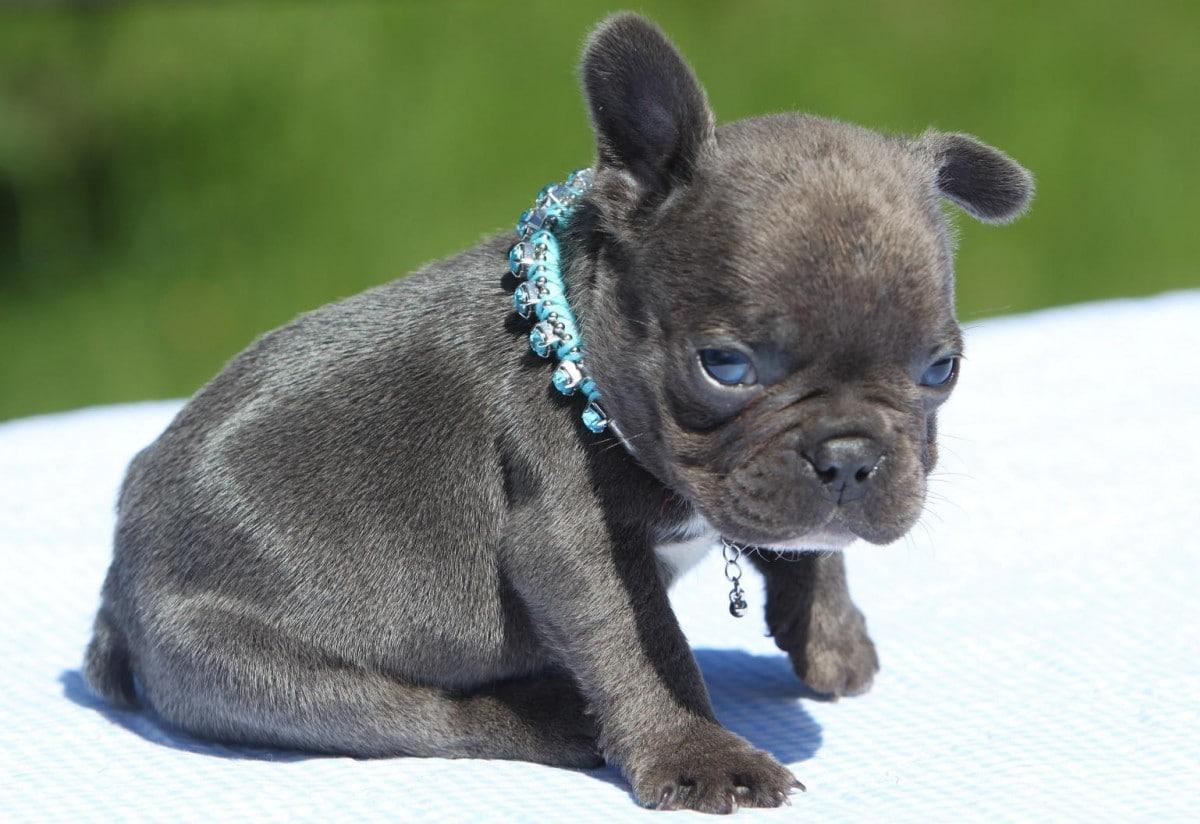 raising your french bulldog puppy