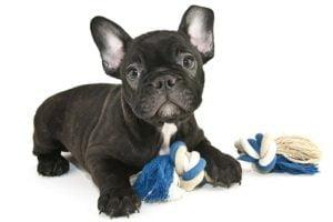 French bulldog puppy health