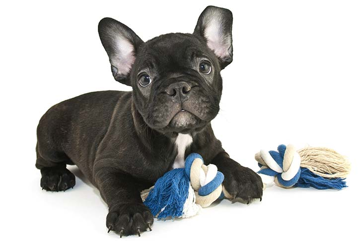 French bulldog puppy health