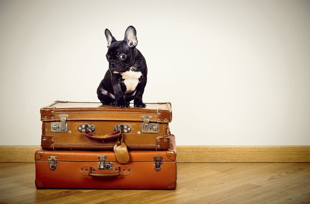 can you travel with a french bulldog?