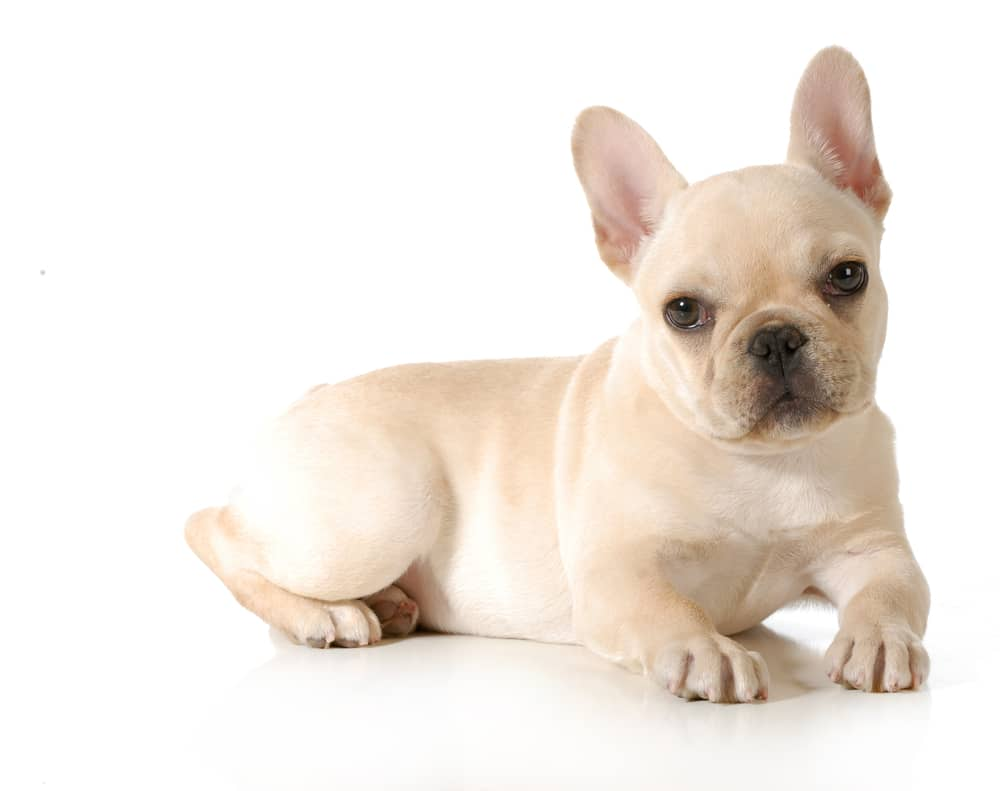 cream french bulldog color