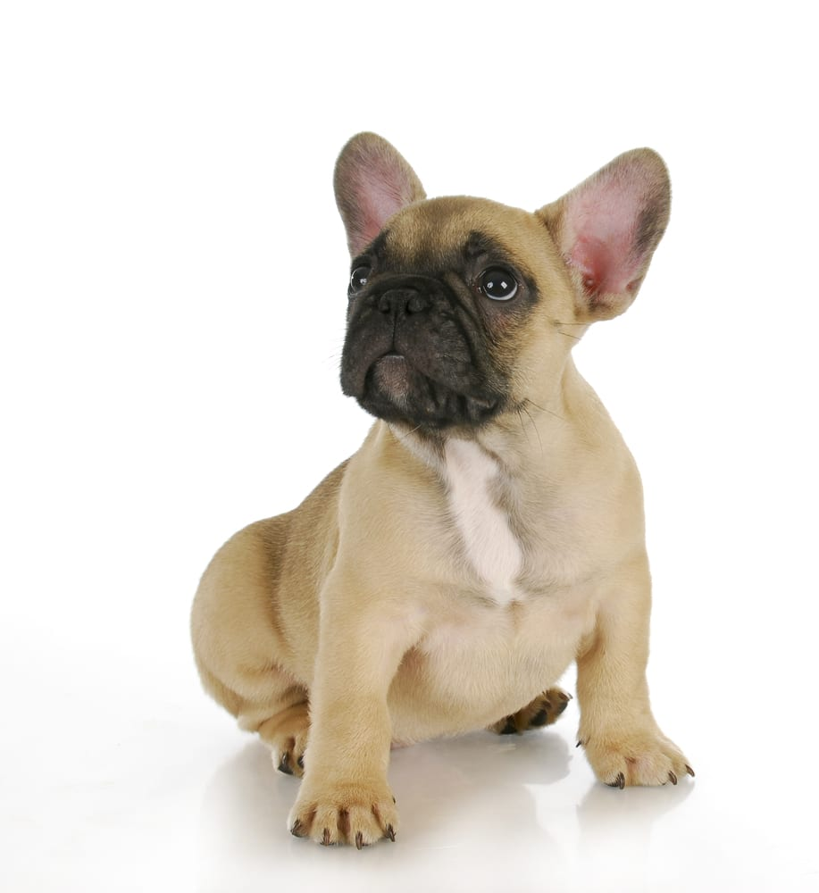 fawn french bulldog color