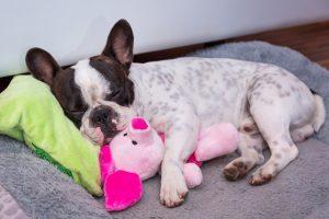 french bulldog bed