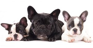 different french bulldog colors