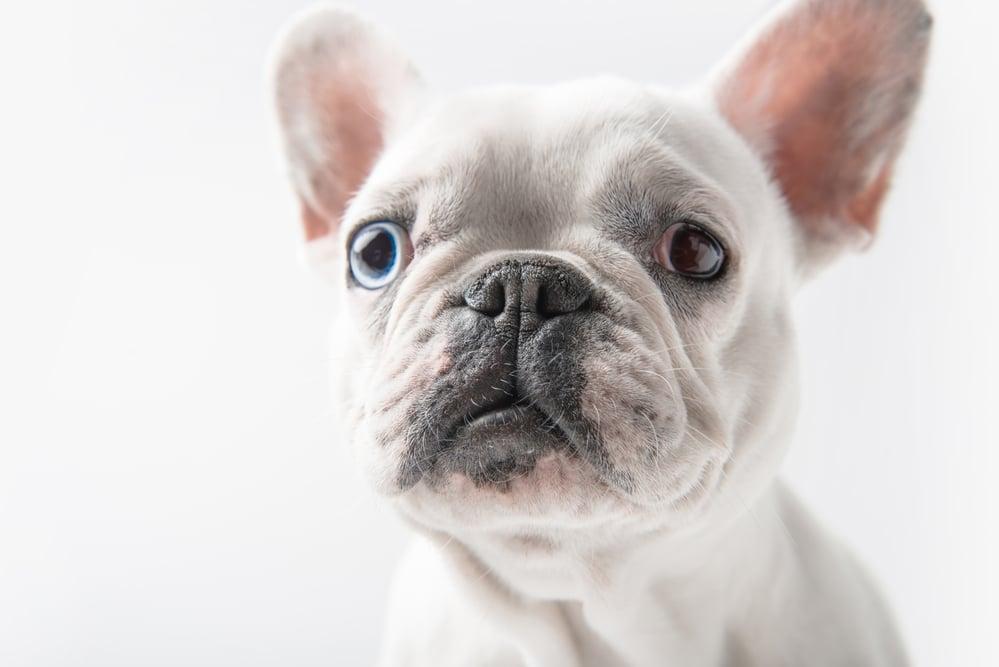 white french bulldog color