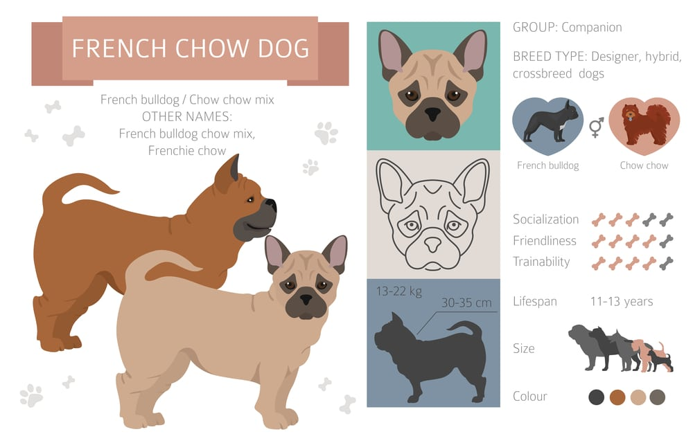 french bulldog chow mix