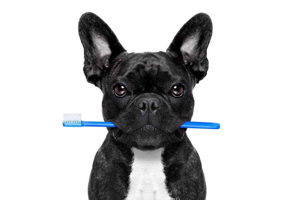 french bulldog toothbrush