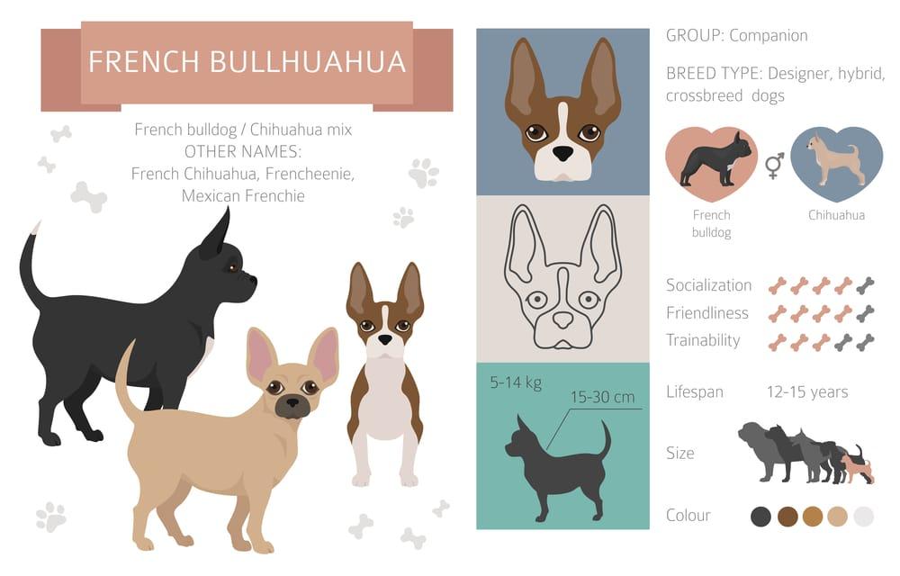 french bullhuahua