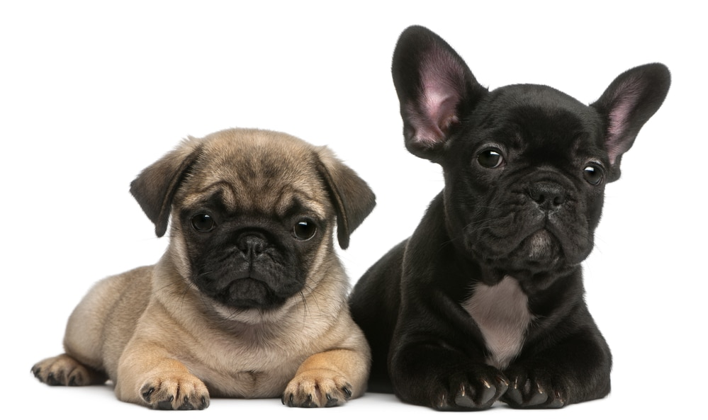 Pug and French Bulldog