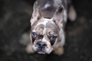 merle french bulldog